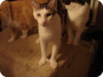 Domestic Shorthair Cat for adoption in Chesapeake, Virginia - Aztec (POLYDACTYL)