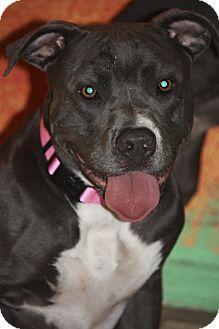 Staffordshire Bull Terrier/Pit Bull Terrier Mix Dog for adoption in Phoenix, Arizona - Sasha