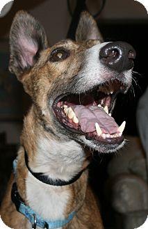 "Greyhound Dog for adoption in Smyrna, Tennessee - PTL Gunner ""SULU"""