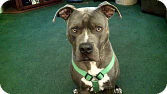 American Pit Bull Terrier Dog for adoption in Whitakers, North Carolina - Barney