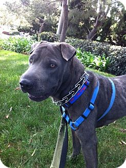 Shar Pei Dog for adoption in Apple Valley, California - Asia