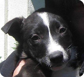 Border Collie/Australian Shepherd Mix Puppy for adoption in Oakley, California - Baby Mackey