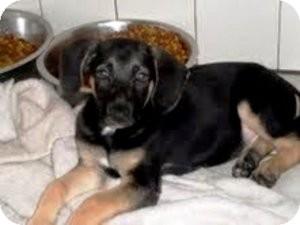 German Shepherd Dog/Labrador Retriever Mix Puppy for adoption in Bartonsville, Pennsylvania - DUKE