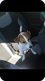 Jack Russell Terrier Dog for adoption in Austin, Texas - MJ in Houston