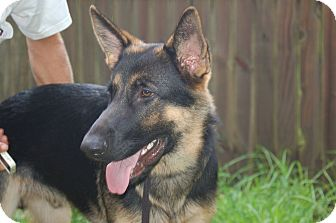 German Shepherd Dog Puppy for adoption in Ormond Beach, Florida - Bear