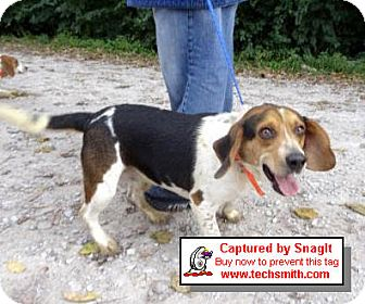 Beagle Dog for adoption in Huntley, Illinois - Sparky