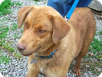 Golden Retriever Mix Dog for adoption in Parkville, Missouri - Kinsey