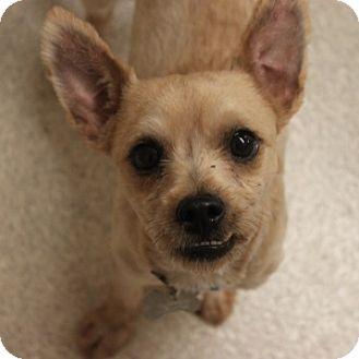 Schnauzer (Miniature)/Chihuahua Mix Dog for adoption in Naperville, Illinois - Koda
