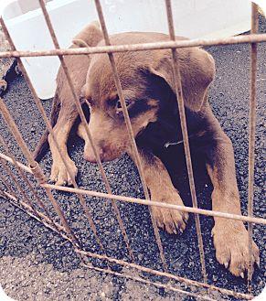 Catahoula Leopard Dog/Doberman Pinscher Mix Puppy for adoption in Beeville, Texas - Jerry