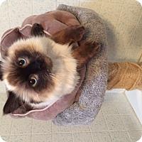Adopt A Pet :: ZBear - Davis, CA