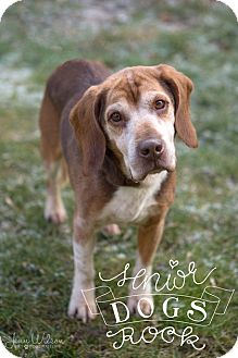 Beagle Mix Dog for adoption in Drumbo, Ontario - Chester