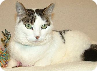 Domestic Shorthair Cat for adoption in Hillside, Illinois - Stella-NEEDS NEW HOME & MOM