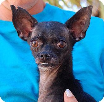 Chihuahua Mix Dog for adoption in Las Vegas, Nevada - Thurston