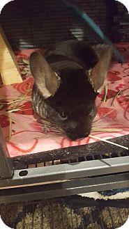 Chinchilla for adoption in Lindenhurst, New York - Rocky
