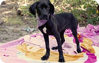 Labrador Retriever Mix Puppy for adoption in Voorhees, New Jersey - Serenity