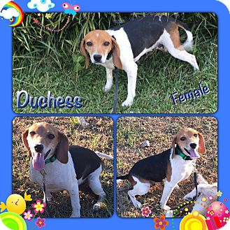 Beagle Mix Dog for adoption in East Hartford, Connecticut - Duchess-pending adoption