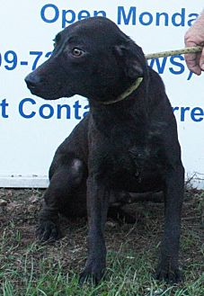 Labrador Retriever/Shepherd (Unknown Type) Mix Dog for adoption in Grayson, Louisiana - Fade