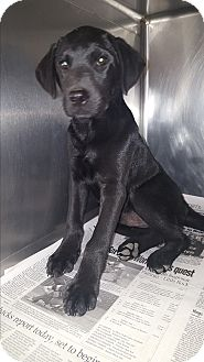 Labrador Retriever Mix Puppy for adoption in albany, New York - Chevy
