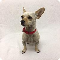 Adopt A Pet :: Pete - Mission Viejo, CA