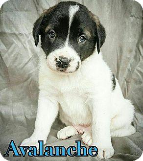 St. Bernard/Shepherd (Unknown Type) Mix Puppy for adoption in Fredericksburg, Texas - Avalanche