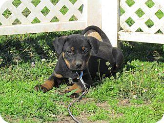 Labrador Retriever/Dachshund Mix Puppy for adoption in Hartford, Connecticut - DESI