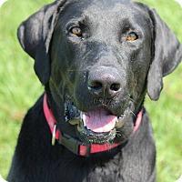 Adopt A Pet :: Chrome - Jay, NY