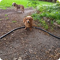 Adopt A Pet :: Ruby - Lavon, TX