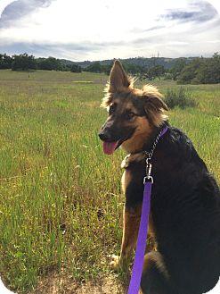German Shepherd Dog/Australian Shepherd Mix Dog for adoption in Murrieta, California - Harley