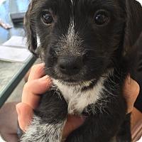 Adopt A Pet :: Maxwell - Brea, CA