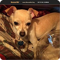 Adopt A Pet :: Chuchi - Woodstock, CT