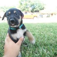 Adopt A Pet :: Snickers - Kirby, TX