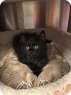 Domestic Mediumhair Kitten for adoption in Stillwater, Oklahoma - Ebony