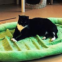 Domestic Shorthair Cat for adoption in Goshen, New York - Graham