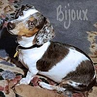Adopt A Pet :: Bijoux - San Antonio, TX