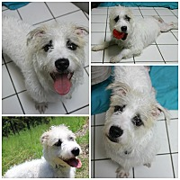 Adopt A Pet :: Whitey - Forked River, NJ