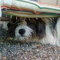 Adopt A Pet :: Pips - Oakley, CA