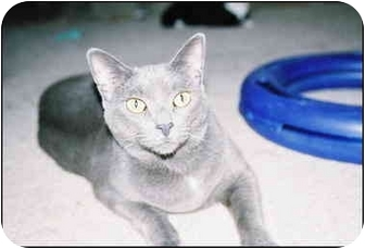 Russian Blue Cat for adoption in Macon, Georgia - Smokey