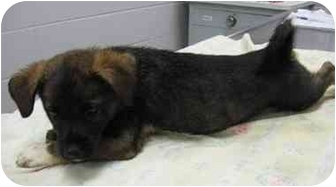 Shepherd (Unknown Type) Mix Puppy for adoption in Florence, Indiana - Eldon
