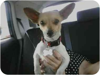 Chihuahua Dog for adoption in Spring Valley, New York - Saucy