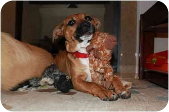 Hound (Unknown Type) Mix Puppy for adoption in Manchester, Connecticut - Remy