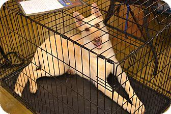German Shepherd Dog Puppy for adoption in Davison, Michigan - Comet