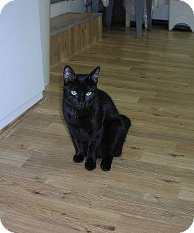 Domestic Shorthair Cat for adoption in Speonk, New York - Delilah