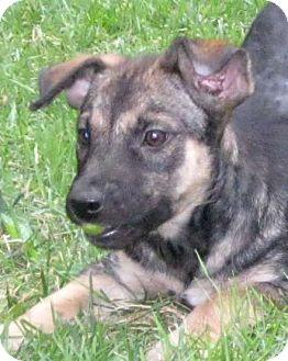 German Shepherd Dog/Labrador Retriever Mix Puppy for adoption in Cantrall, Illinois - Saba