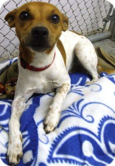 Jack Russell Terrier Mix Dog for adoption in Kalamazoo, Michigan - Gary