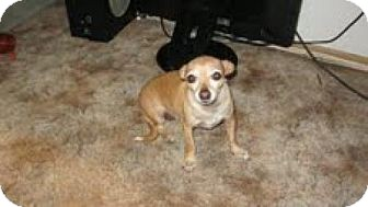 Chihuahua Mix Dog for adoption in Las Vegas, Nevada - Patsy