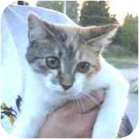 Domestic Shorthair Cat for adoption in Coleraine, Minnesota - Heidi