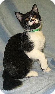 Domestic Shorthair Kitten for adoption in Powell, Ohio - Murray