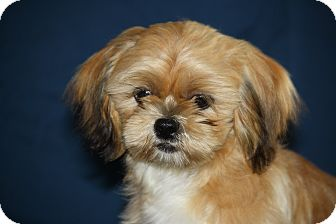 Shih Tzu Mix Puppy for adoption in West Milford, New Jersey - MUNCHKIN-pending
