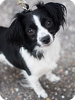 Papillon Dog for adoption in Detroit, Michigan - Zoe-Adopted!