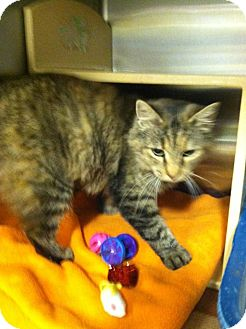 Domestic Shorthair Cat for adoption in Muncie, Indiana - Fiona
